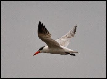 02f - birds - Caspian Tern
