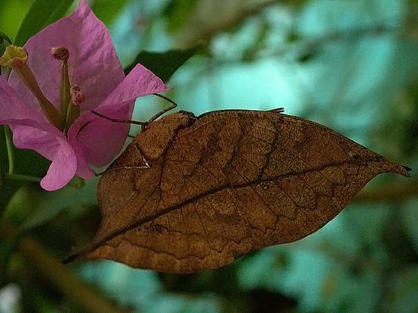Leaf-Mimic Butterfly