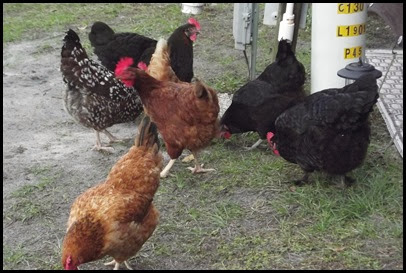 Walkabout chickens 012