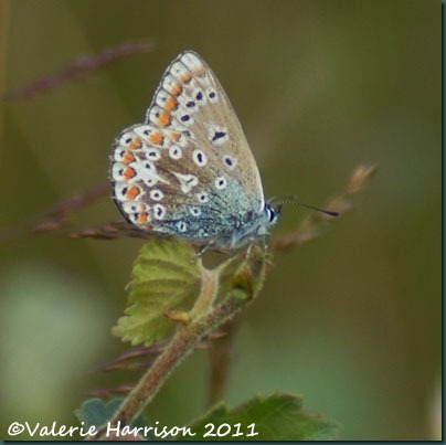 26-common-blue