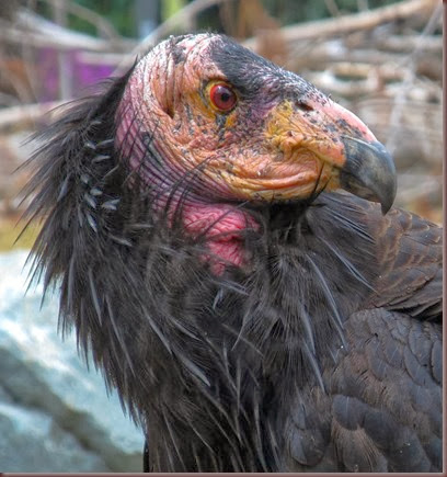Amazing Animals Pictures California Condor (12)