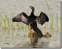 103 Great Cormorant ( Moto Kajiyo )