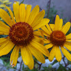 Heliopsis helianthoides 1.JPG