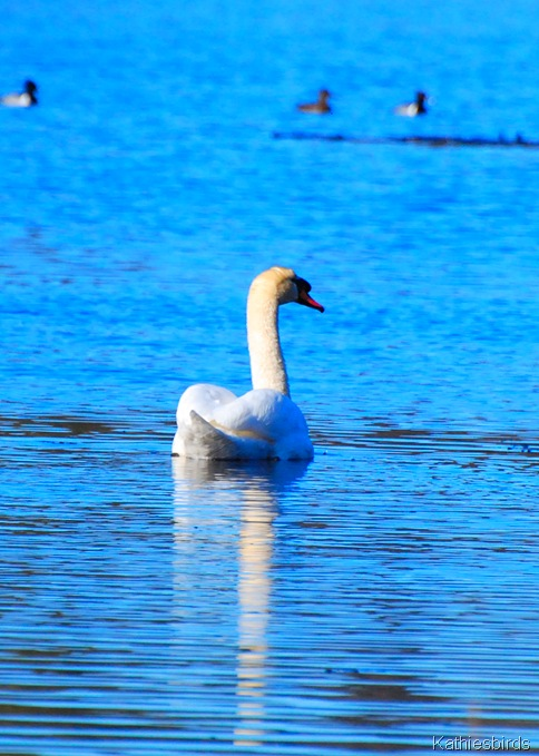 12. mute swan-kab