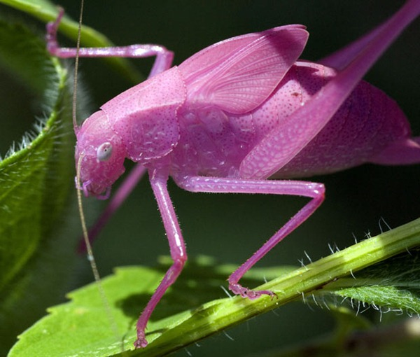 pink katydids 01