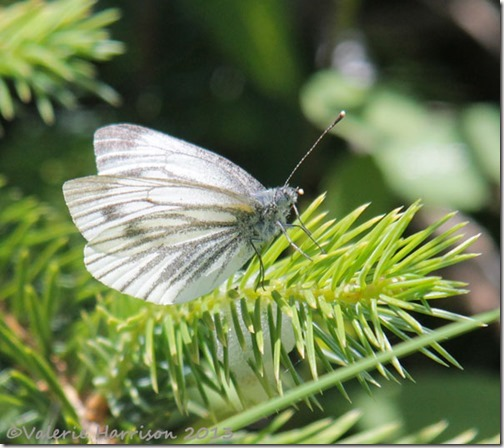 10-green-veined-white