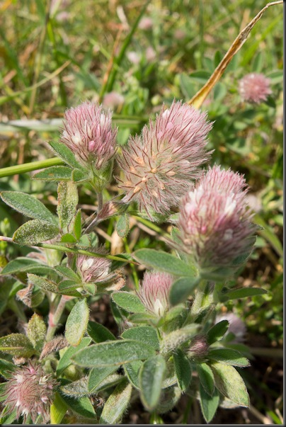 Hare's foot Clover