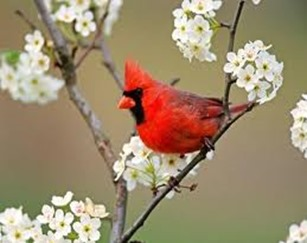 Amazing Pictures of Animals,photo, Nature, exotic, funny, incredibel, Zoo, Northern Cardinal, (Cardinalis cardinalis), Bird, Aves, Alex (1)