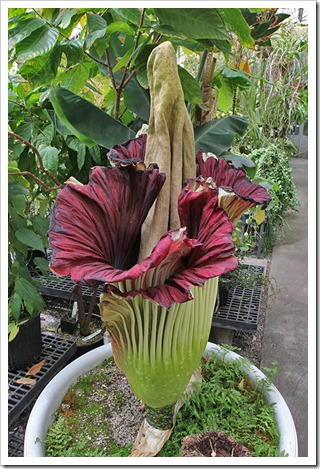 110625_Amorphophallus-titanum_02