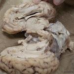 brain_dissect19.jpg