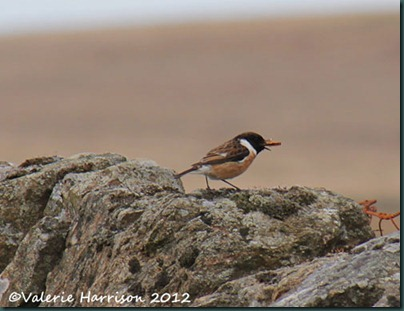 49-stonechat-and-emperor