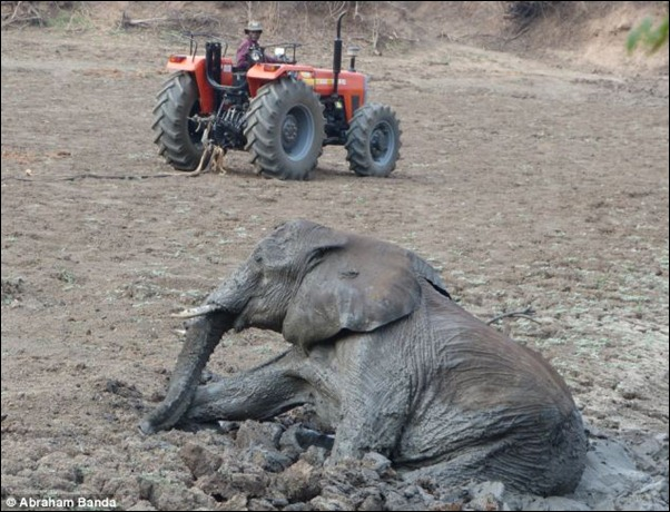 After an inch by inch struggle, she eventually senses freedom and starts to scramble through the mud once more