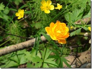 017-Jarki-fleur de sibérie