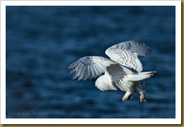 - Snowy Owl Flight D7K_9407 November 25, 2011 NIKON D7000