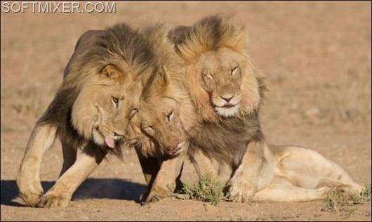 91618330_91457628_lions__3_