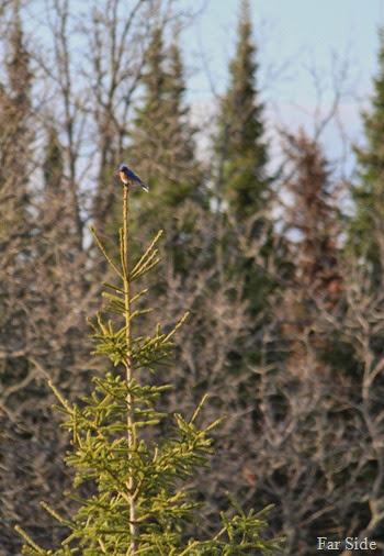 Bluebird (2)