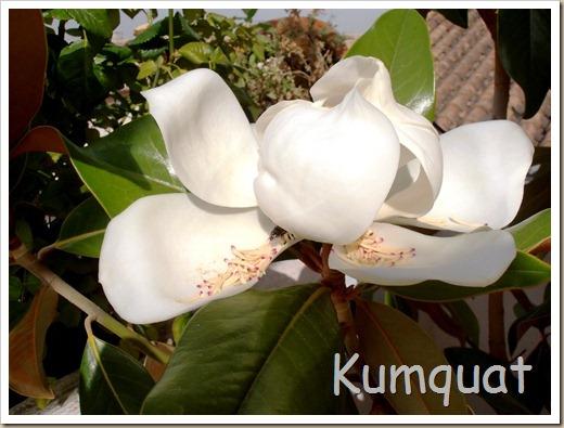 magnolio 5