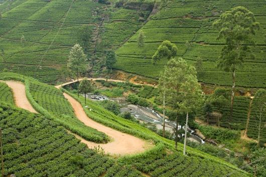Шри-Ланка-плантации