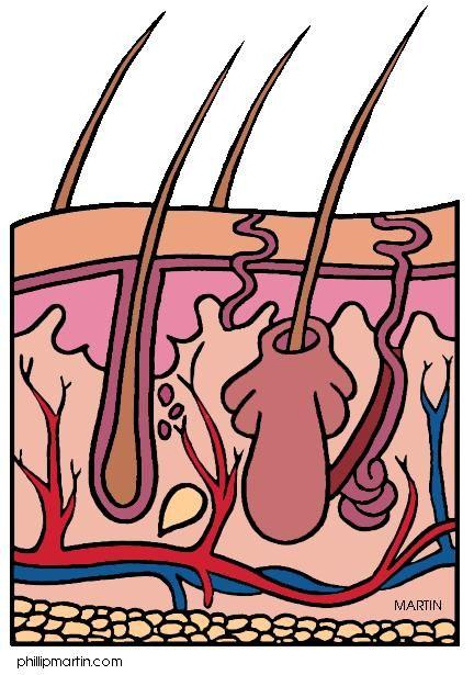 cuerpo humano: sistema tegumentario