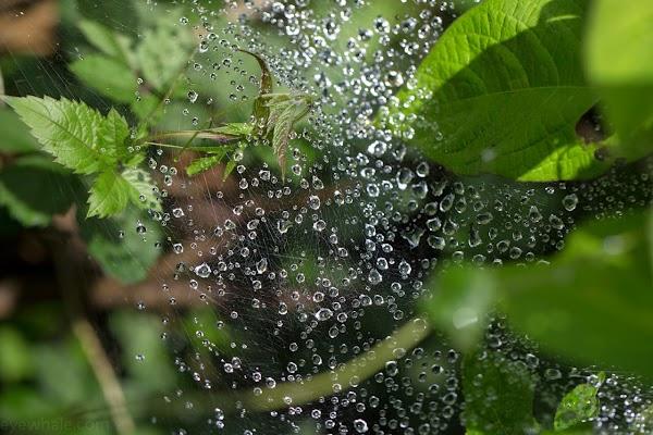 蜘蛛の巣についた雫
