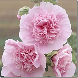 alcea_rosea_chaters_double