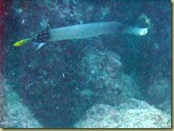 Pipe Fish-1