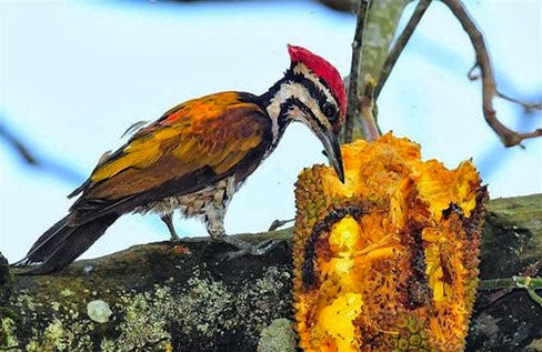Amazing Pictures of Animals, Photo, Nature, Incredibel, Funny, Zoo, Greater Flameback, Chrysocolaptes guttacristatus, Bird,Alex (18)