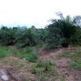 アサップの村のロットではアブラヤシ栽培が盛んになりつつある。