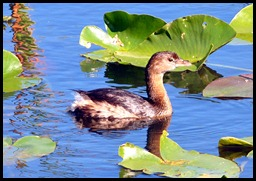 11 - Pied -billed Grebe