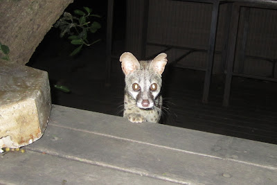 Geoff the genet coming to see what we're having for dinner.