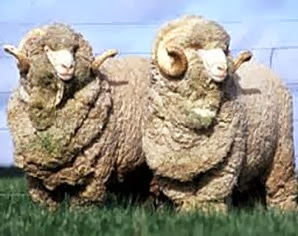 Amazing Pictures of Animals, Photo, Nature, Incredibel, Funny, Zoo, Mammals, Merino, Sheep, Alex (1)