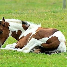 Resting by Faillie Photos - Animals Horses ( horses )