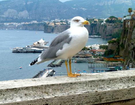 Gaviota en Sorrento