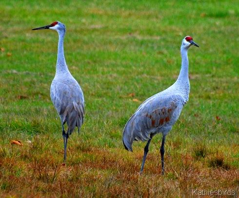 10. sandhill cranes-kab