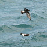 Wilson's storm petrels