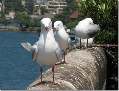 Cockatoo Janes 053