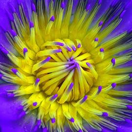 Water Lily Bloom by Alan Chew - Flowers Single Flower