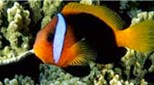 Polynésie poisson-clown bistré