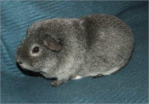 Teddy Guinea Pig 01