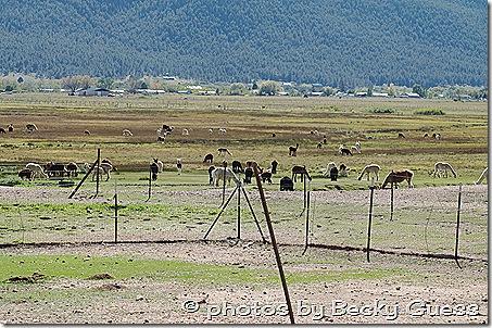 10-05-11 alpacas near Mora 05