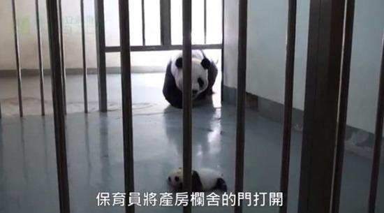 Bebê Panda Gigante 04