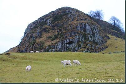 11-loudoun-and-sheep