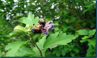 Japanese-Beetle ON rose of sharon