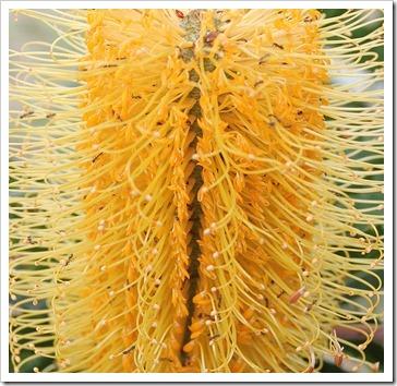 111015_Santa-Cruz_UCSCA_Banksia-attenuata_ants