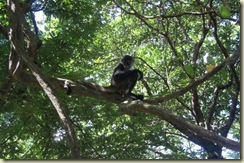 Howler Monkey (Small)