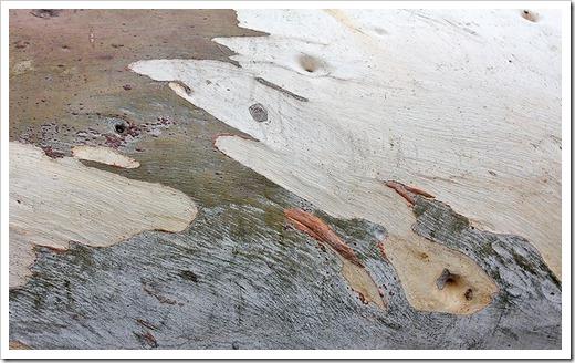 111015_Santa-Cruz_UCSCA_Eucalyptus-rubida_05