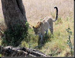 October 20, 2012 leopard approaching tree