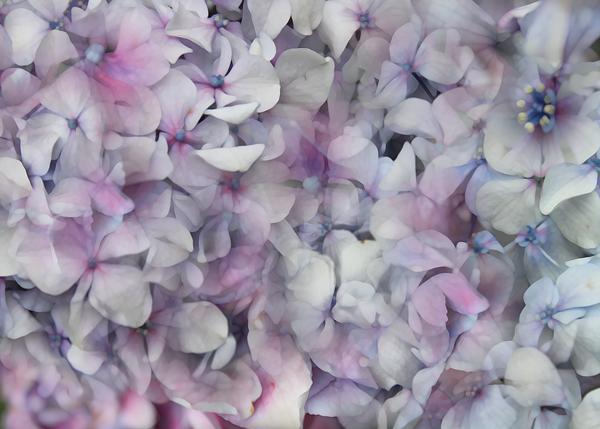 hydrangea-motif_thumb