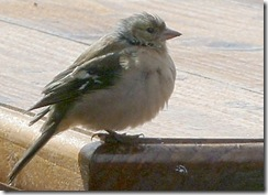 chaffinch youngster