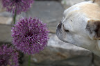 According to my research, allium is the Latin name for garlic or onion, including their ornamental varieties, like these.